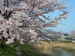 2011sakura11.jpg