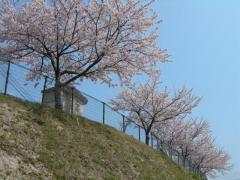 2011sakura14.jpg