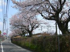 2011sakura17.jpg