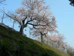 2011sakura1.jpg
