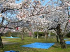 2011sakura2.jpg