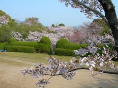 2011sakura4.jpg