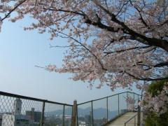 2011sakura7.jpg