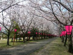 2011sakura8.jpg