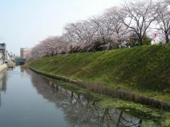 2011sakura9.jpg