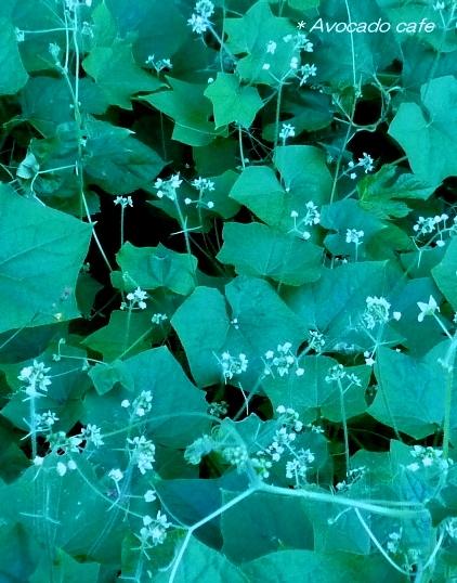 アレチウリの花