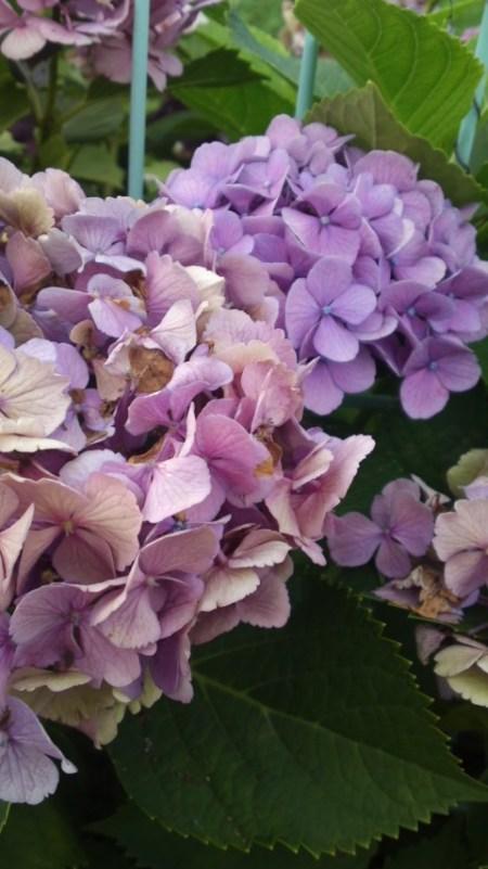 枯れかけの紫陽花が好き