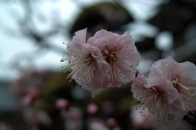 桜2012-01a