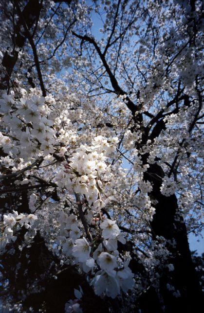 桜2012-03c