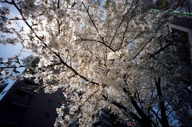 桜2012-03a