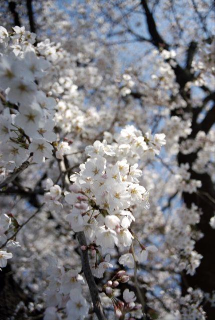 桜2012-04d
