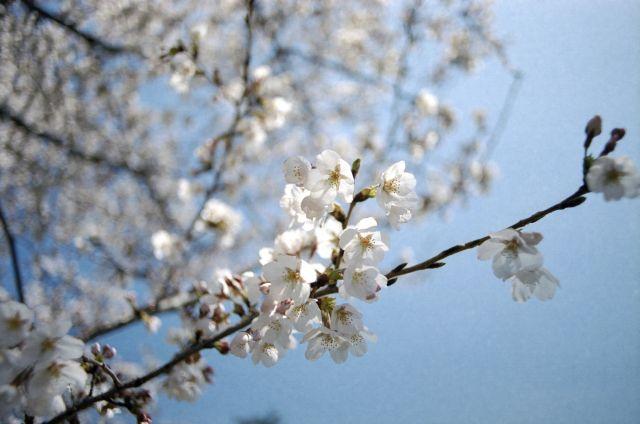 桜2012-04b