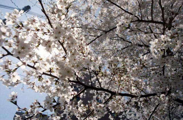 桜2012-04a