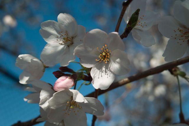 桜2012-05d