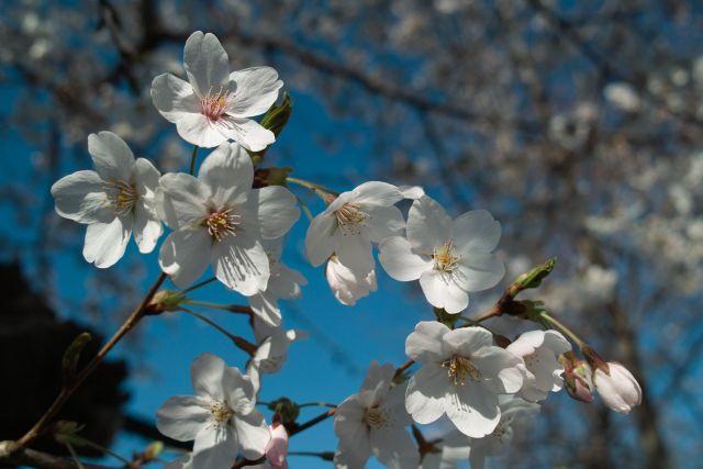 桜2012-05c