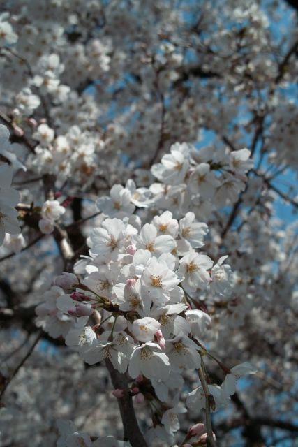 桜2012-05b