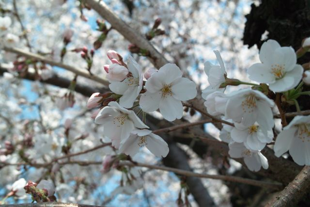 桜2012-05a