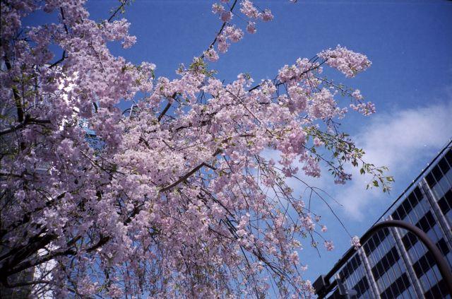 桜2012-06b