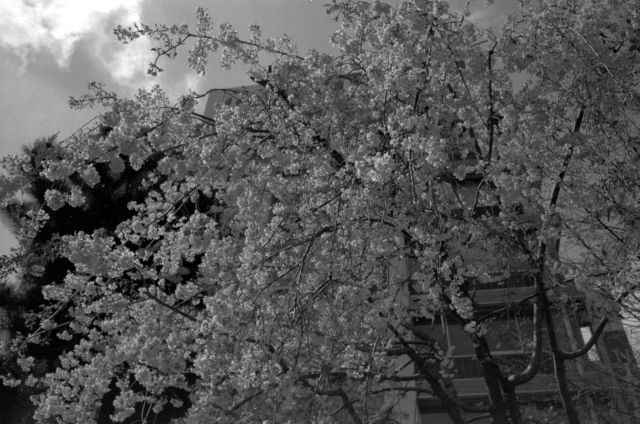 桜2012-07c
