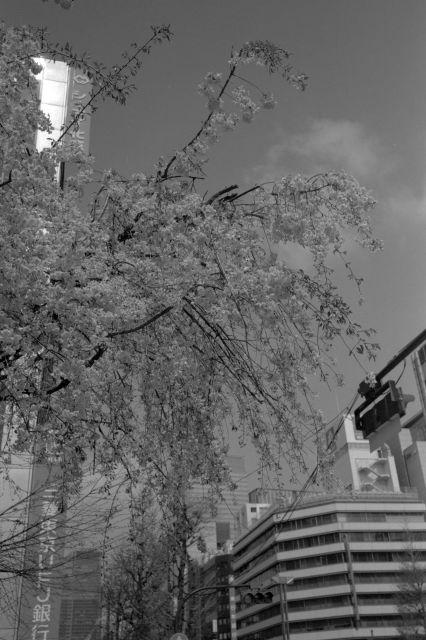 桜2012-07b