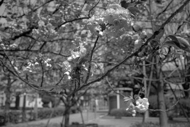 桜2012-07a