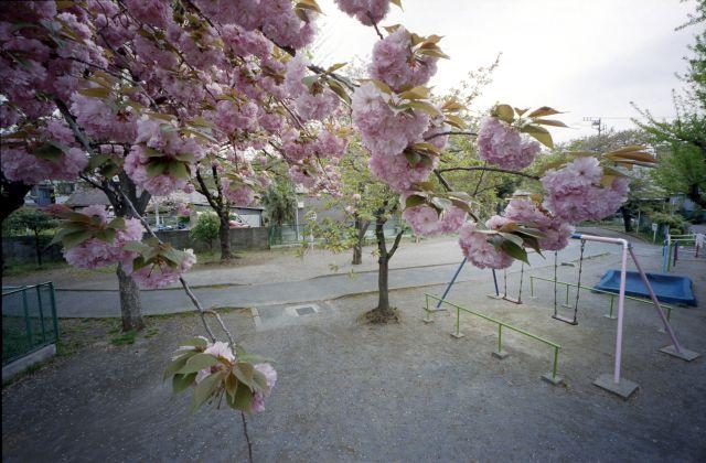 桜2012-08d