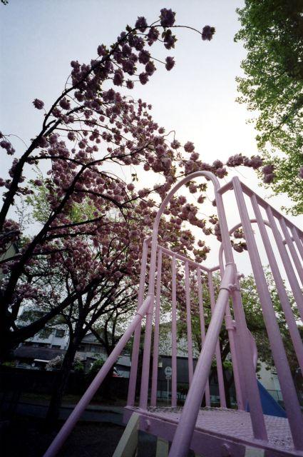 桜2012-08c