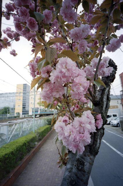 桜2012-08b