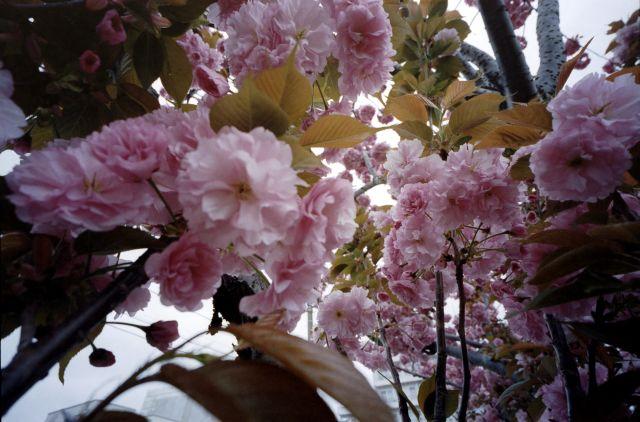 桜2012-08a
