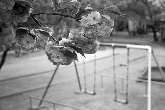 桜2012-09d