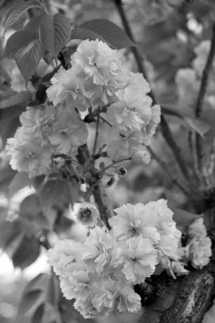 桜2012-09c