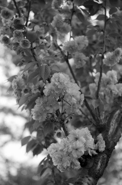 桜2012-09b
