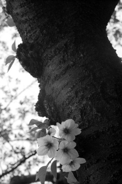 桜2012-09a