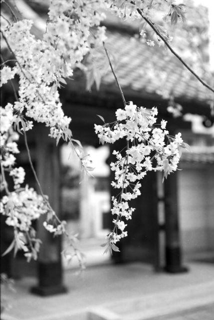 桜2012-10c