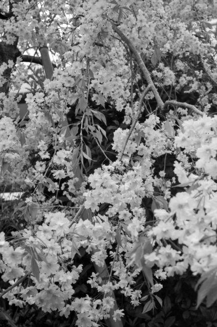桜2012-10b