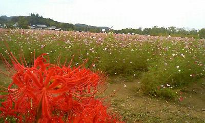 曼珠沙華と秋桜1