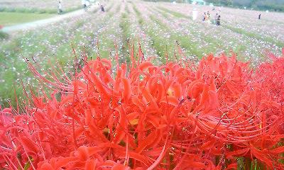 曼珠沙華と秋桜2