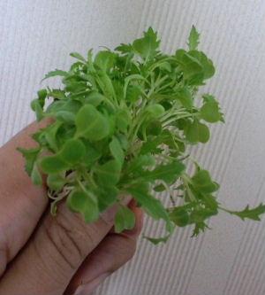 自家製veg1