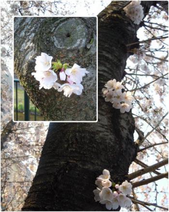 sakura_convert_20120410085536.jpg