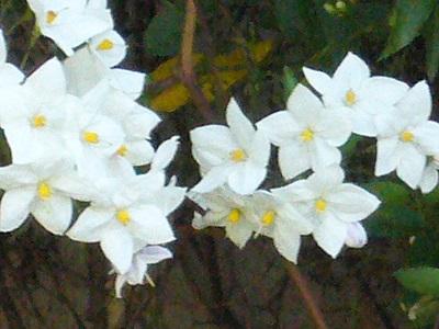 白い花 アップ