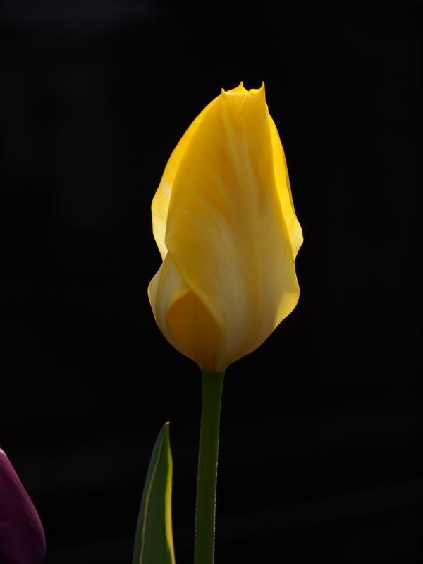 ♪咲いた~咲いた~チューリップの花が~♪