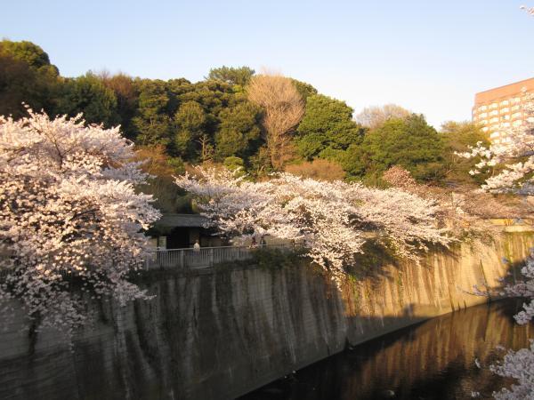 神田川のさくら