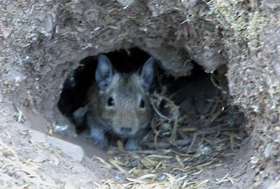 Degu巣穴の中