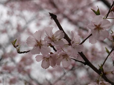 159 桜アップ