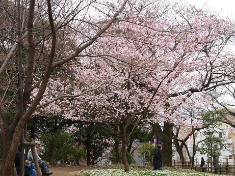 158 桜1本