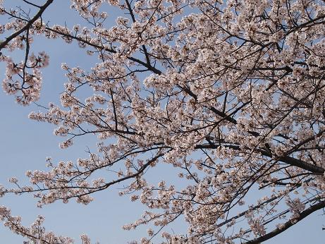 011 桜全