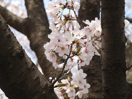015 桜