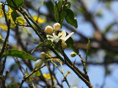 206 柚子の花