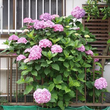 001 紫陽花