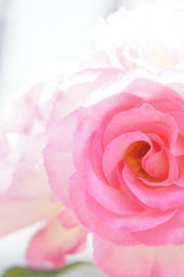 2012薔薇2